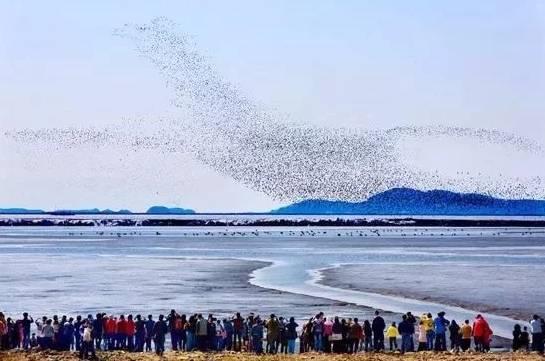 鸭绿江口湿地万鸟翔集 4月7日,记者走进丹东鸭绿江口湿地,海风习习,咸湿的空气扑面而来。此时,正是鸟类北迁聚于鸭绿江口湿地的时节。清明小长假,丹东鸭绿江口湿地海边的海风,在几场小雨的陪衬下增添寒意,却未能阻止爱鸟人士,观鸟的人潮随湿地的鸟潮涌动,眼前海、天、鸟、景和谐相融的美丽画面立即吸引了众人的目光。 4月初,丹东鸭绿江口湿地的迁徙鸻鹬鸟类已经进入高峰期,数万只鸟儿盘旋觅食,集群场面蔚为壮观。据鸟类专家介绍,每年4到6月份,都会有数以万计的涉禽候鸟长途跋涉飞抵丹东鸭绿江口湿地加油。在迁徙于此的250